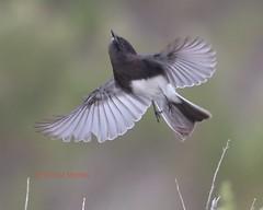 Black phoebe's sudden flight (Victoria Morrow) Tags: