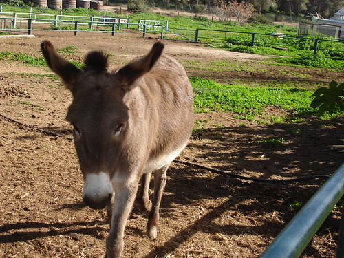 Burro at the Bitan Aharon horse and donkey sanctuary