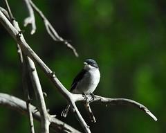 Common Fiscal (jeremyhughes) Tags: bird birds southafrica nikkor shrike tc14eii nikond200 kleinkaroo 300mmf4d gamkaskloof diehel commonfiscal