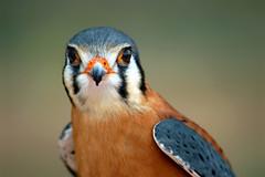 American Kestral on perch (wplynn) Tags: arizona bird desert hawk raptor sparrow kestral