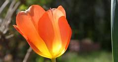 INJELEA im Frühling - Nelke