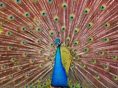 Yes!! it was a peacock!!! (Fer Gregory) Tags: pictures camera city blue milan bird art nature colors yellow mxico mexicana wow de mexico hotel interestingness interesting icons flickr foto photographer with shot artistic photos background sony feathers yucatan taken 8 cybershot peacock myspace 100v10f clip mexican merida fotos fernando mexique gregory 80 f828 mexicano sets camara con recent dsc avian groups megapixel fotografo tomadas hi5 relevant freg dscf828 artisticas naturesfinest supershot mayaland megapixeles peack peackcock superbmasterpiece flickrphotoaward cybershotdscf828 reg