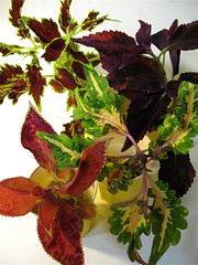 Coleus Batch 3 (of 3)