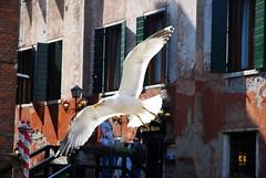 Gabbiano veneziano