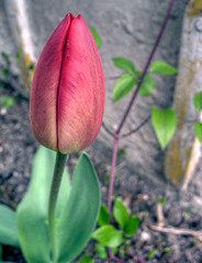 kiss (ozma) Tags: red flower green rot beauty garden 3d kiss lips tulip grn lust g3 blume kuss yoni tulpe lippen ku krs10