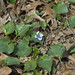 Confederate Violet, Native Flora Garden