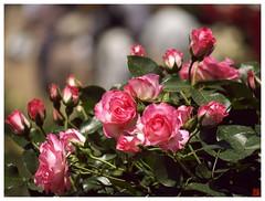 Rose 070520 #29