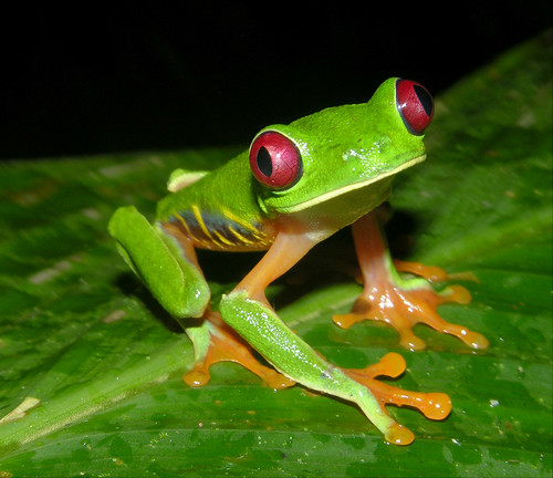 Red-eyed tree frog (Agalychnis callidryas), Panama by artour_a.