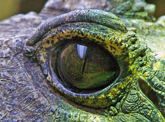 Bristol Zoo - crocodile eye