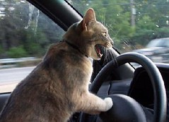 Driving Cat
