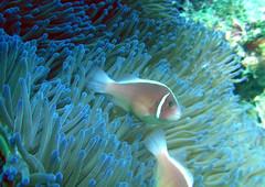 (earthhopper) Tags: geotagged underwater diving okinawa  akajima  kerama     amphiprion   geo:tool=yuancc perideraion geo:lat=26201928 geo:lon=127321994 amurojima kerama20070531