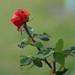 Bathurst rose