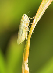 "Leafhopper(2) • <a style=""font-size:0.8em;"" href=""http://www.flickr.com/photos/57024565@N00/535960687/"" target=""_blank"">View on Flickr</a>"