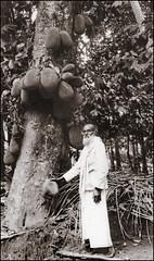 Jackfruit Tree (ookami_dou) Tags: vintage srilanka ceylon jackfruit tree artocarpusheterophyllus botany