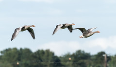 Incoming Greylags (steven waddingham) Tags: bird wild goose nature