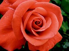 huge red rose (Brian A Petersen) Tags: red flower macro green nature wet water beauty rose garden brian drop petal creation dew bp petersen impressedbeauty bpbp brianpetersen brianapetersen