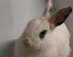Pinky (Pinky Earl) Tags: rabbit bunny animals conejo lapin usagi coniglio
