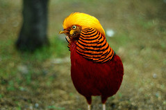 Ave Fnix (.DesertMonsterBell) Tags: chile red bird nature animal yellow golden rojo pheasant colores amarillo ave goldenpheasant faisan chrysolophuspictus faraon abw phasianus colchicus emperador
