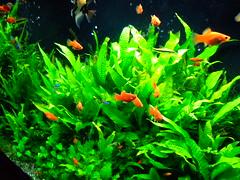 403-038 東京 築地市場 (Chrischang) Tags: travel orange fish plant green japan geotagged aquarium tokyo tsukiji 日本 東京 築地 2007 platy japan2007 geo:tool=gmif 20070403 geo:lat=35666562 geo:lon=139770228