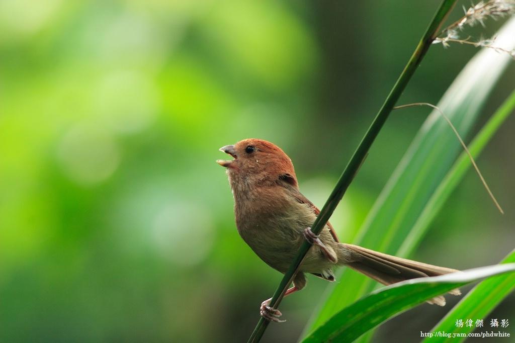 粉紅鶯嘴 Vinous-throated Parrotbill