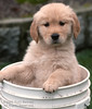 Why am I in this thing? (Russ Beinder) Tags: dog chien cute topf25 topv111 goldenretriever puppy bucket topv555 topv333 sweet topv1111 topc50 topc75 topv999 adorable canine cutie topc100 topv5555 topv777 doggy pup sweetness topv3333 k9 jesters topv7777 topvaa supershot 3000v120f challengeyouwinner 30faves30comments300views 50faves50comments500views pet100 botopv0507 0502020010 gundogsfundogspotd