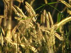 Sun Weed (Daniel Pascoal) Tags: sun sol nature public yellow gold golden weed natureza dourado mato ouro amerelo danielpg danielpascoal