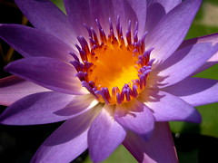 Dessert is served! (ineedathis) Tags: flower macro green beauty yellow garden pond nikon waterlily lily purple exotic watergarden tropical waterflower naturesfinest e5700 thebigone flowerotica outstandingshots flickrsbest colorphotoaward impressedbeauty ultimateshot ultimatshot flickrdiamond beautyupclose onlythebestare