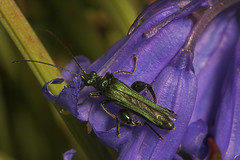 "Male False Oil Beetle (oedemera nobilis) on Bluebells • <a style=""font-size:0.8em;"" href=""http://www.flickr.com/photos/57024565@N00/518483905/"" target=""_blank"">View on Flickr</a>"