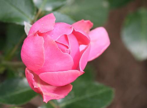 Rose Leonardo da Vinci ®