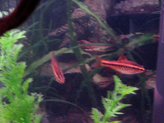 Cherry barbs 3