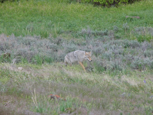 Coyote at Yellowstone