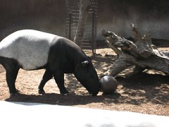 Malayian Tapir