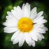 MIKE5254-DAISY- (Michael William Thomas) Tags: flowers newyork flower mike photography buffalo photographer daisy mikethomas buffalonewyork michaelthomas mtphoto buffalowedding michaelwthomas