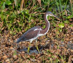 06-10-15-7721.jpg (Lake Worth) Tags: bird nature birds animal animals canon wings florida wildlife feathers wetlands everglades waterbirds southflorida 2xextender sigma120300f28dgoshsmsports