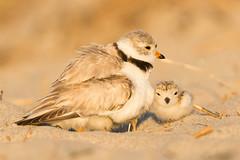 Piping Plover adult and Chicks (npurmort) Tags: beach grass birds sunrise us sand unitedstates wildlife newhampshire chicks brooding portfolio hampton roosting hamptonbeach fledglings pipingplovercharadriusmelodus