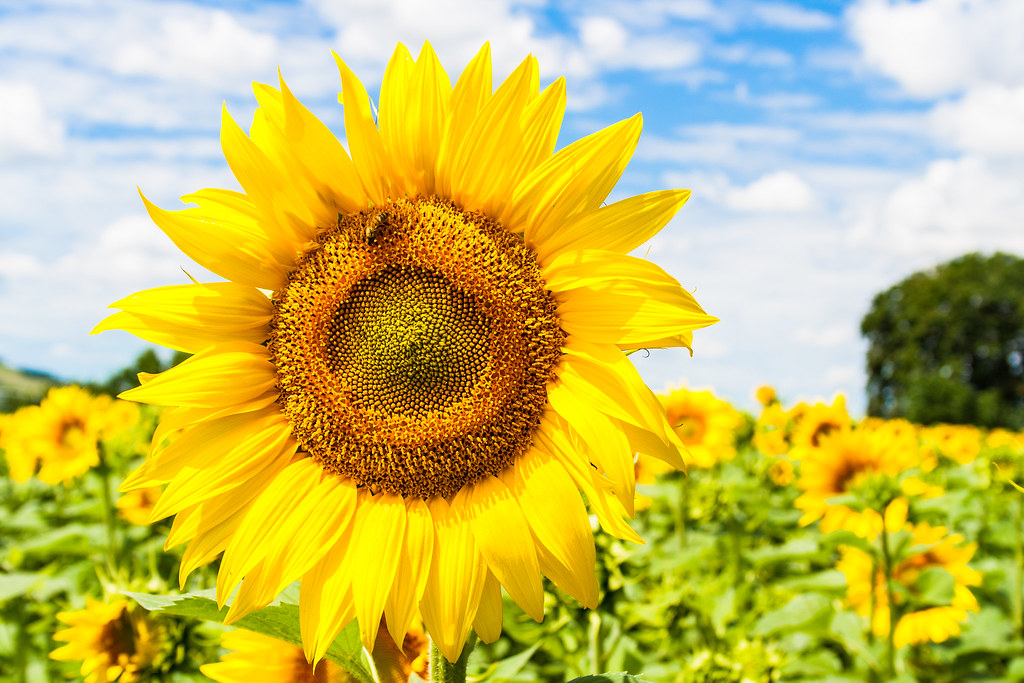 summer sunflowers andrea - photo #11