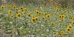Dtail d'un champ de tournesol (MBD photographies (Ile de France)) Tags: borderfx