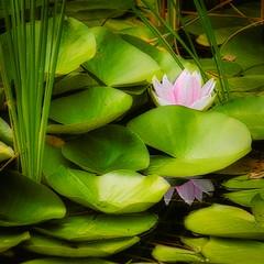 Water lily (wdterp) Tags: flower reflection waterlily watergarden newtonarboretum