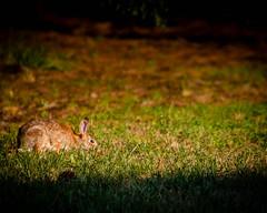 (crfleury) Tags: rabbit canon nc backyard hare 7d 2015 14x crfleury 70200f28islusm