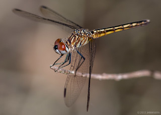 Blue Dasher (Female)  [Explored]