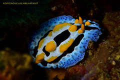 I am a Nudi :) (kayak_no1) Tags: macro uw indonesia nikon underwater diving scubadiving supermacro underwaterphotography diopter 105mmvr lembehstrait subsee10 nauticamhousing d800e ysd1