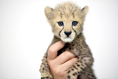 cheetah (floridapfe) Tags: baby cute nature animal zoo korea cheetah everland