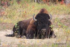 Wood Bison (Bison bison athabascae) - Highway 97 (Alaskan Highway) Northern British Columbia - British Columbia Canada (Gerald (Wayne) Prout) Tags: canada canon britishcolumbia bison bovidae bovinae animalia mammalia prout alaskanhighway northernbritishcolumbia chordata highway97 artiodactyla woodbison bisonbisonathabascae canoneos40d geraldwayneprout