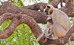"""""""MOTHERHOOD: ALL LOVE BEGINS AND ENDS THERE"""" (GOPAN G. NAIR [ GOPS Creativ ]) Tags: poverty india photography monkey day child mother mothers hunger motherhood suffering langur gops gopan gopsorg gopangnair gopsphotography"""
