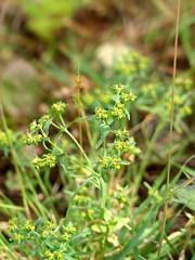 Euphorbia exigua - Dwarf Spurge (Simon Melville) Tags: plant hampshire arableweed dwarfspurge euphorbiaexigua