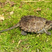 Snapping Turtle, Hatchling