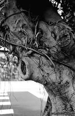 F20150102_CV-Bessaflex-BLACK+Fuji-CineFile-FG71112-80_N+2-016 (Leche con Compasio) Tags: bw tree film iso200 snapshot taiwan nb m42 sw taipei  twisted tianmu    n2  2015 czj push2  blackwhitephotos carlzeissjenaflektogon35mmf24 filterorange    bwfp fujicinefilmfg7111280 voigtlanderbessaflexblack documentingviewsinanalley o562