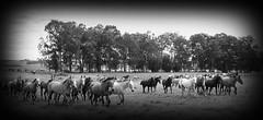 Tropilhas (Eduardo Amorim) Tags: brazil horses horse southamerica field brasil criollo caballo cheval caballos campo cavalos pferde herd cavalli cavallo cavalo pferd riograndedosul pampa champ campanha brsil chevaux cavall  amricadosul fronteira amriquedusud   sudamrica suramrica amricadelsur sdamerika crioulo caballoscriollos criollos  tropillas llanuras americadelsud tropilhas rosriodosul tropilla crioulos cavalocrioulo americameridionale tropilha caballocriollo auffangen eduardoamorim cavaloscrioulos planuras