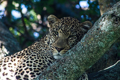 Do not bother (LaClaireMadeleine) Tags: leopard africa wildlife wild wildness wood tree nap sleeping cat bigcat big5 nature safari travel travelphotography traveler photography eye eyes african africananimals workshop adventure expedition explore natural naturalistic sunlight discover portrait animal wildanimal looking