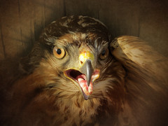 IMG_2975 don't you dare! (pinktigger) Tags: bird birdofprey nature beak mouth angry buzzard poiana